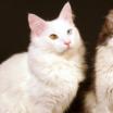 come fare felice un gatto angora turco